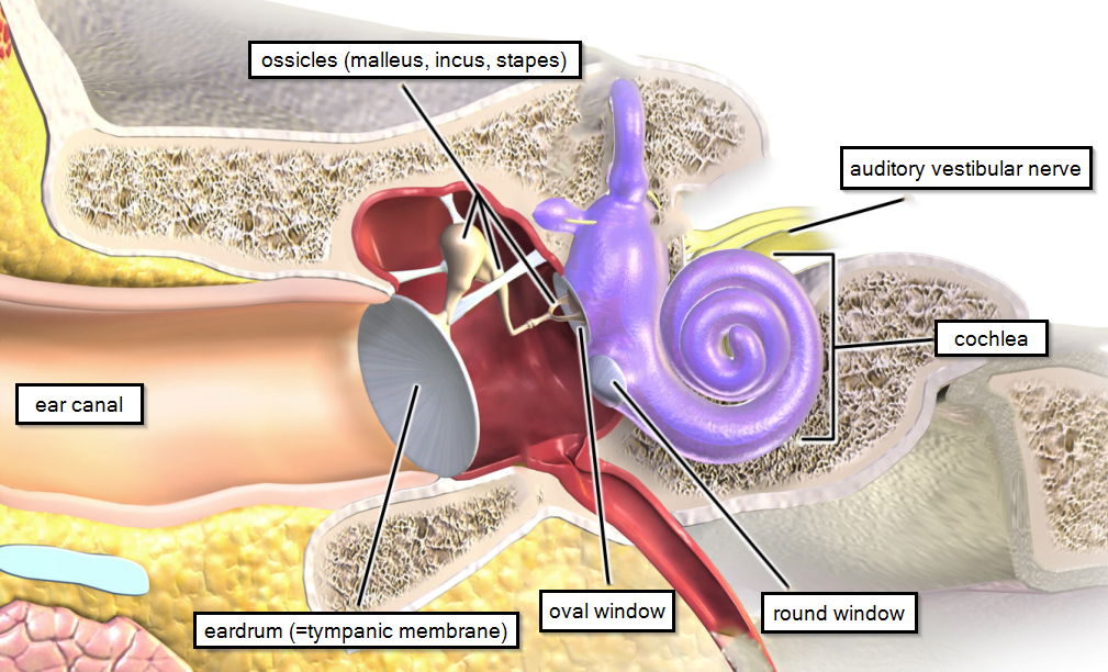 Normal hearing pathway in the ear.